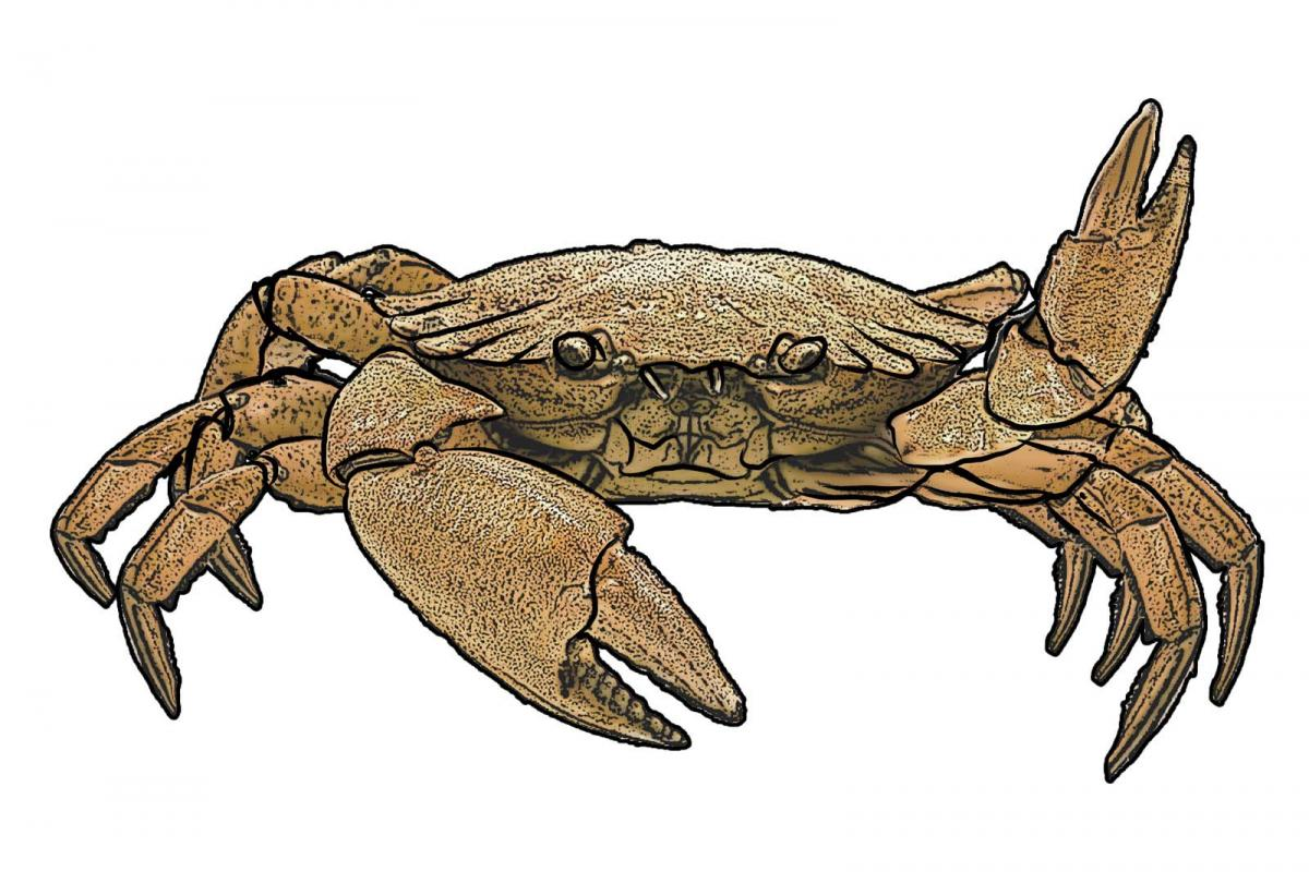Food - Crab - 00 - Non-country specific