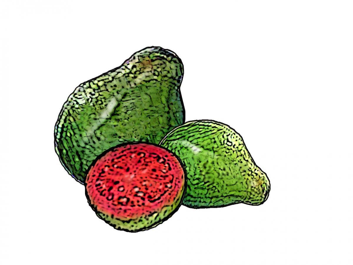 Food - Guava - 00E - Non-country specific