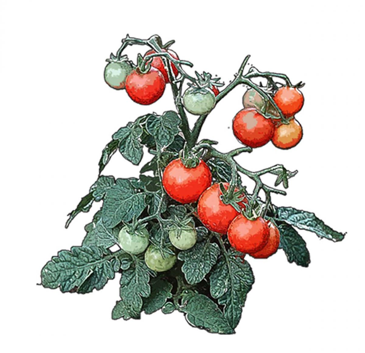 Food - Tomato Vine - 00I - Non-country specific