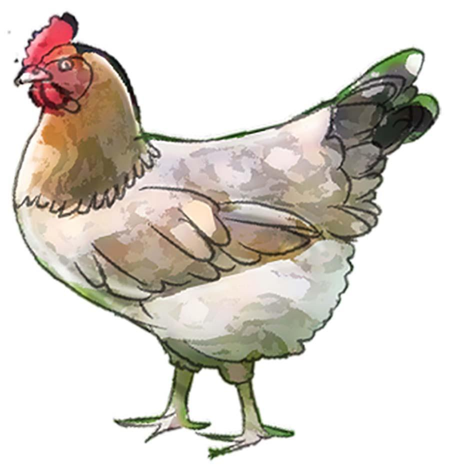 Animals - Chicken - 02 - Nigeria