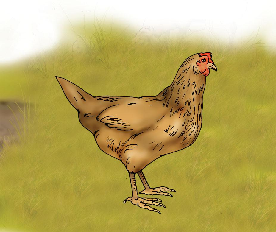 Animals - Hen - 02A - Rwanda