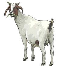 Animals - Goat - 05 - Non-country specific