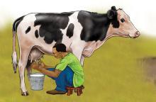 Animals - Milking cow - 01 - Rwanda