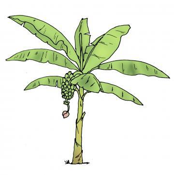 Food - Banana tree - 01 - Rwanda