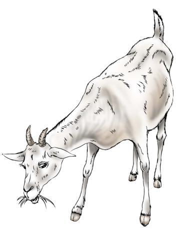 Animals - Goat - 03 - Nigeria