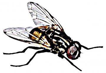 Animals - Fly - 04 - Nigeria